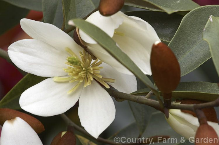 Magnolia dianica syn michelia yunnanensis a slow growing spring michelia yunnanensis a slow growing spring flowering evergreen shrub or small tree native to southern china unlike some of the other former michelias mightylinksfo