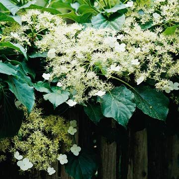 The best perennial vines for your garden hydrangea autumn colours climbing hydrangea the most elegant vine for shade climbing hydrangea bears flattened clusters of fluffy mightylinksfo Gallery