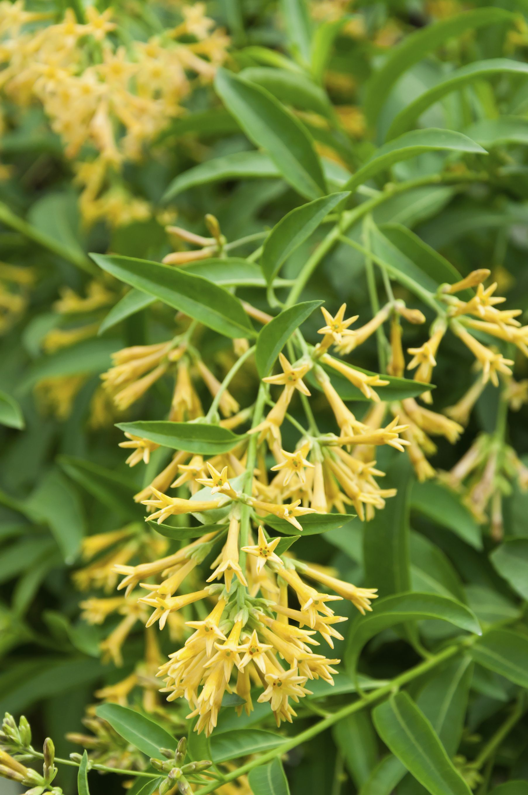 Create a scented patio z 8 11 plants gardens and monrovia plants when jasmine has wrapped up blooming night blooming jessamine comes into flower scenting the izmirmasajfo Image collections