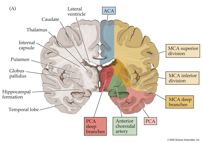 anterior cerebral artery middle cerebral artery - Google'da Ara ...