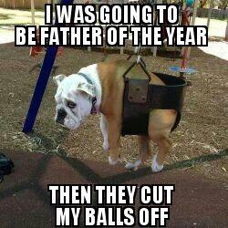 English Bulldog Meme Google Search Bulldog Meme Bulldog Funny