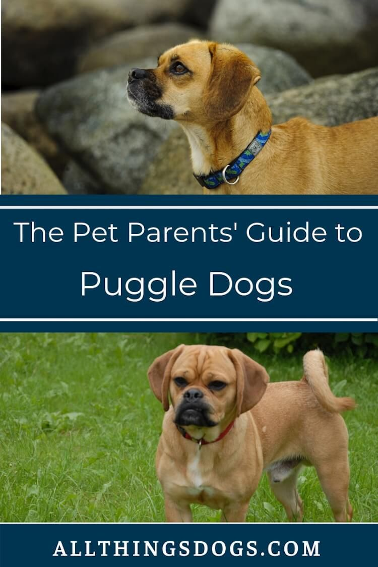 Puggle Dogs The Ultimate Guide For Pet Parents Read On To Learn