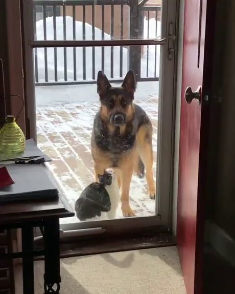 This German Shepherd is like a wise, patient warrior or