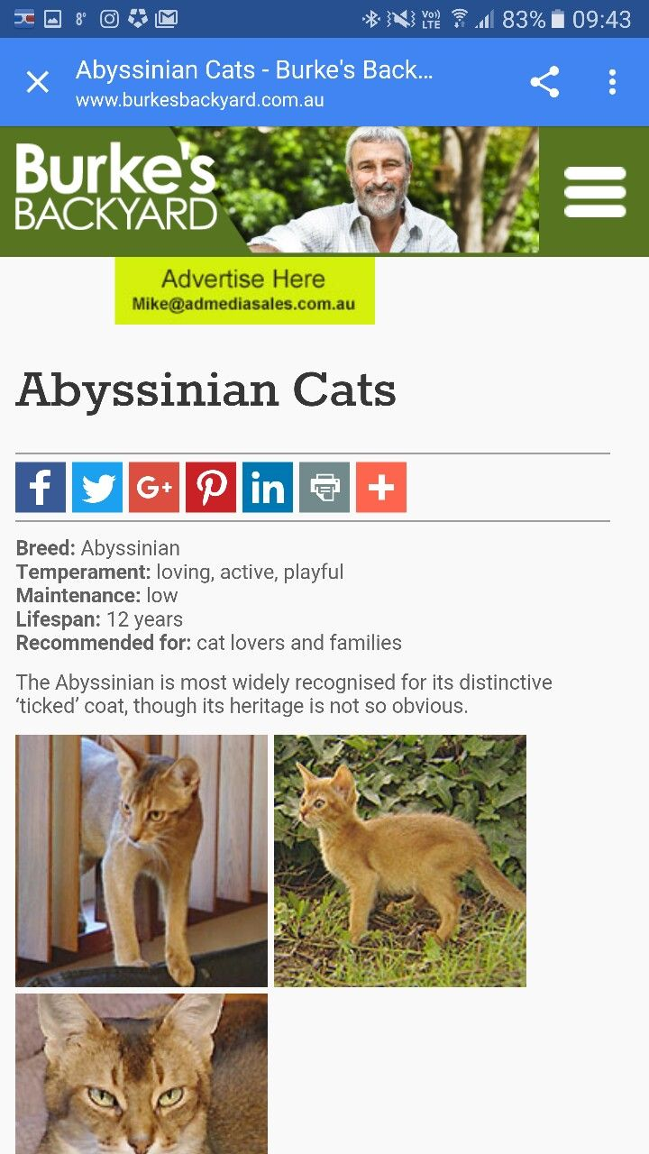 abyssinian information a la burke u0027s backyard website abyssinian