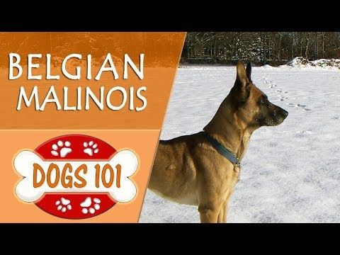 Dogs 101 BELGIAN MALINOIS Top Dog Facts About the