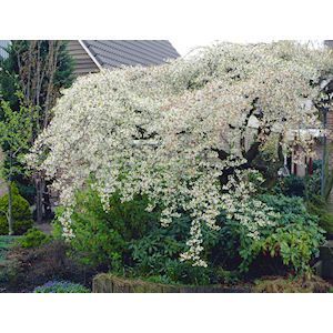 Weeping Santa Rosa Plum Tree I Got This For The Front