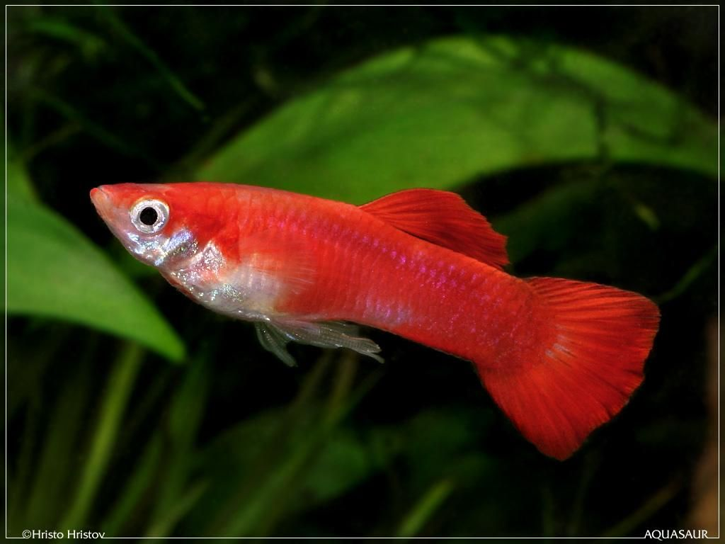 Freshwater aquarium fish with red eyes - There Is Perhaps No Freshwater Fish In The Aquarium Hobby That Has Had A More Convoluted