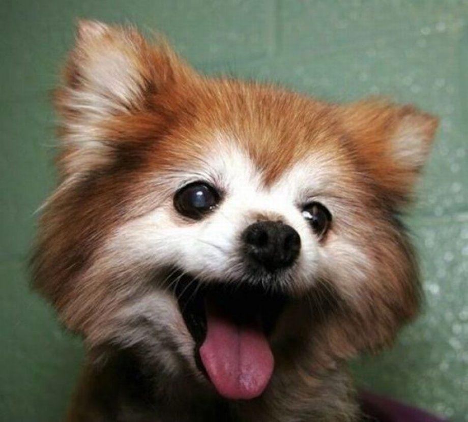 A Cute Pomeranian Dog That Looks Strikingly Similar To A Red Panda