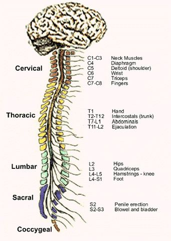 Anatomy > Spinal Nerves | Anatomy of a Curve | Pinterest | Spinal ...