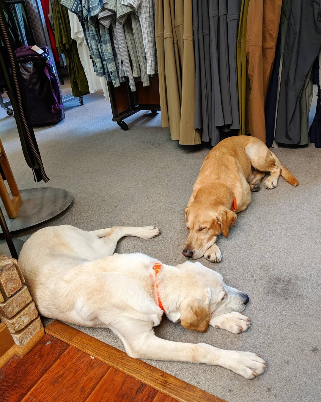 Snoozing On The Job Is Just One Of The Many Responsibilities In The Life Of A Shop Dog Monday Mondayfunday Mondaymood Mond Dogs With Jobs Dogs Puppy Love