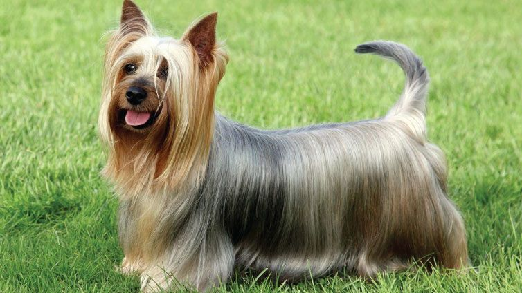 30 Small Hypoallergenic Dogs That Don T Shed Barking Royalty Dog Breeds That Dont Shed Silky Terrier Australian Silky Terrier