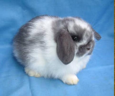 Baby Holland Lop Rabbit :: 4 weeks old :: Broken Blue Buck