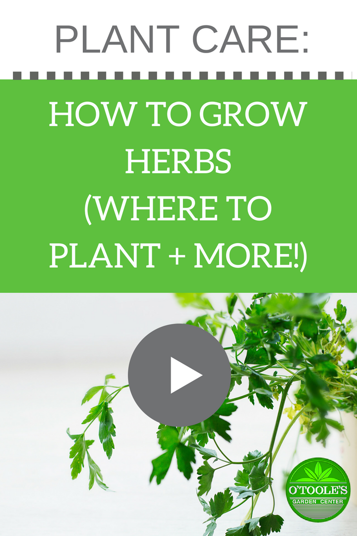 Learn How To Grow Herbs In Your Backyard Or Garden With This Video From O Tooles Garden Centers Where To Planting Herbs Garden Center Gardening For Beginners
