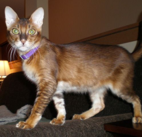 Abyssinian Mix Quincy ~ Abyssinian/Be...