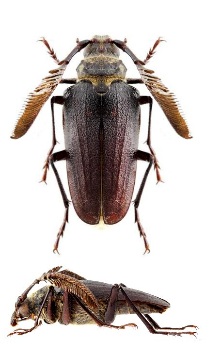 Pseudoprionus Altimontanus Insekten Tiere Und Makros