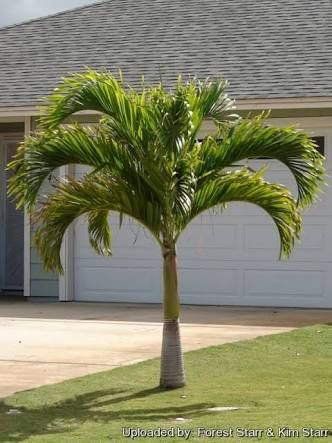 Christmas Palm (Dwarf Royal Palm, Manila Palm) | Veitchia merrillii ...