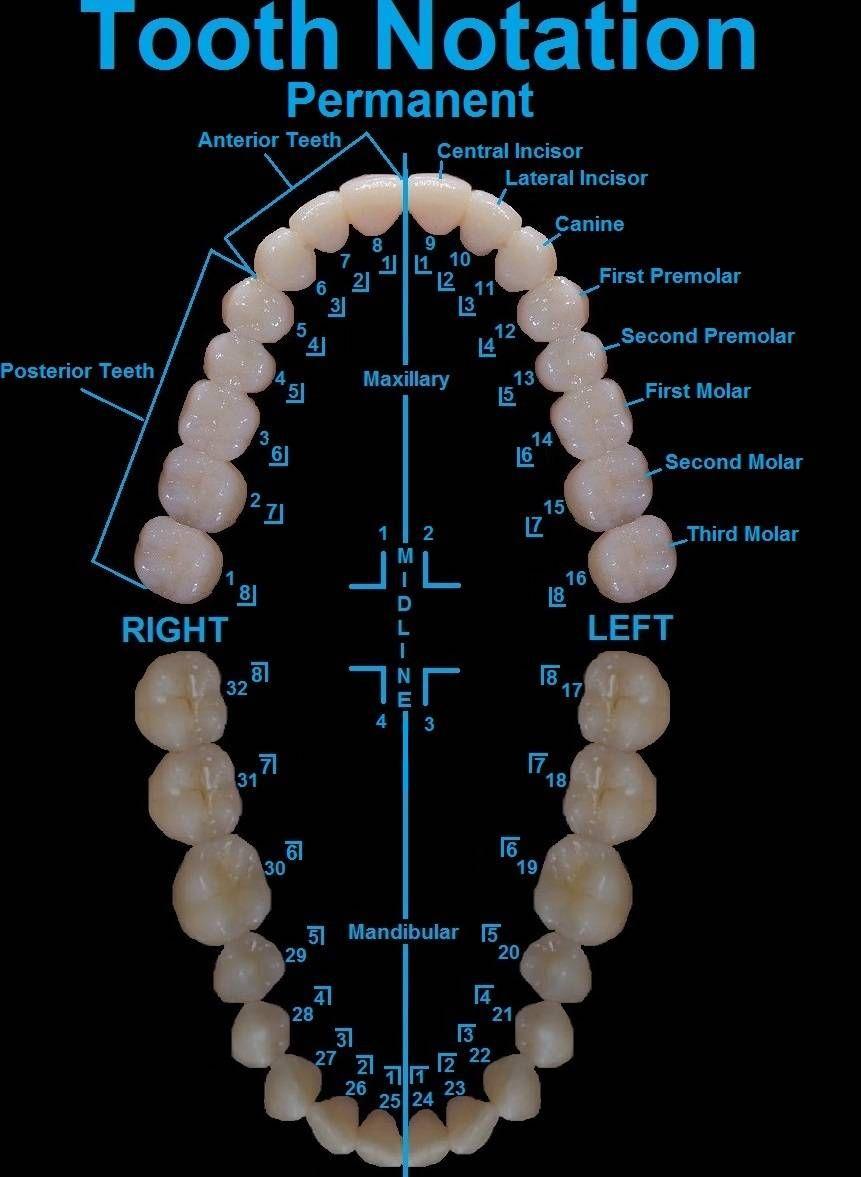 Tooth notation Dental assistant, Dental posters, Dental