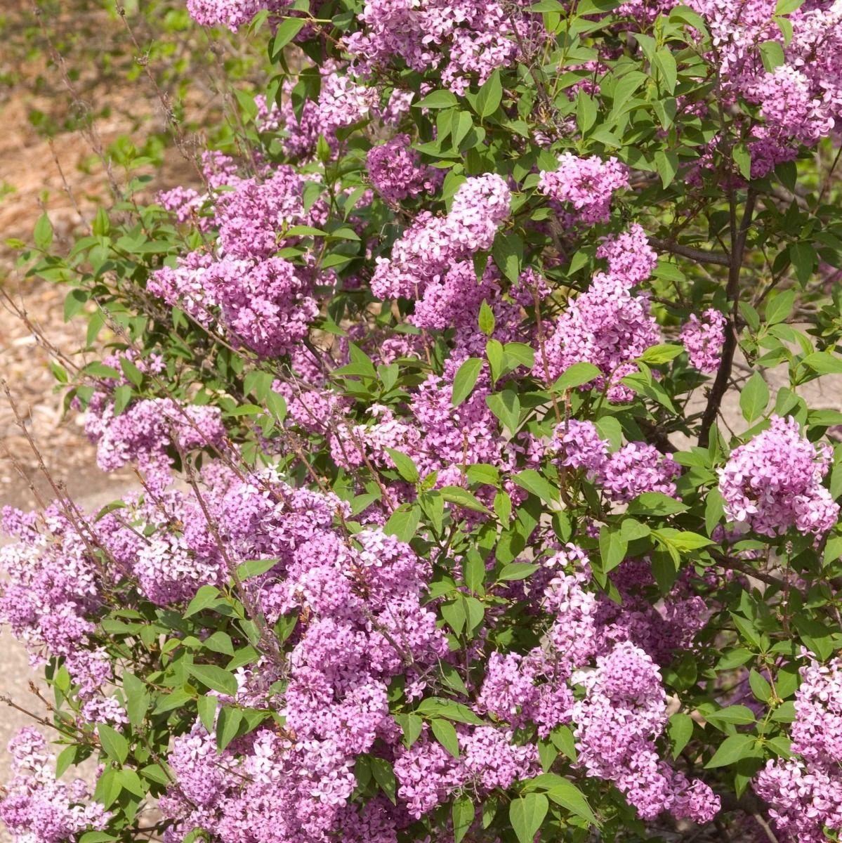 Persian Lilac Online Plant Nursery Flowering Shrubs