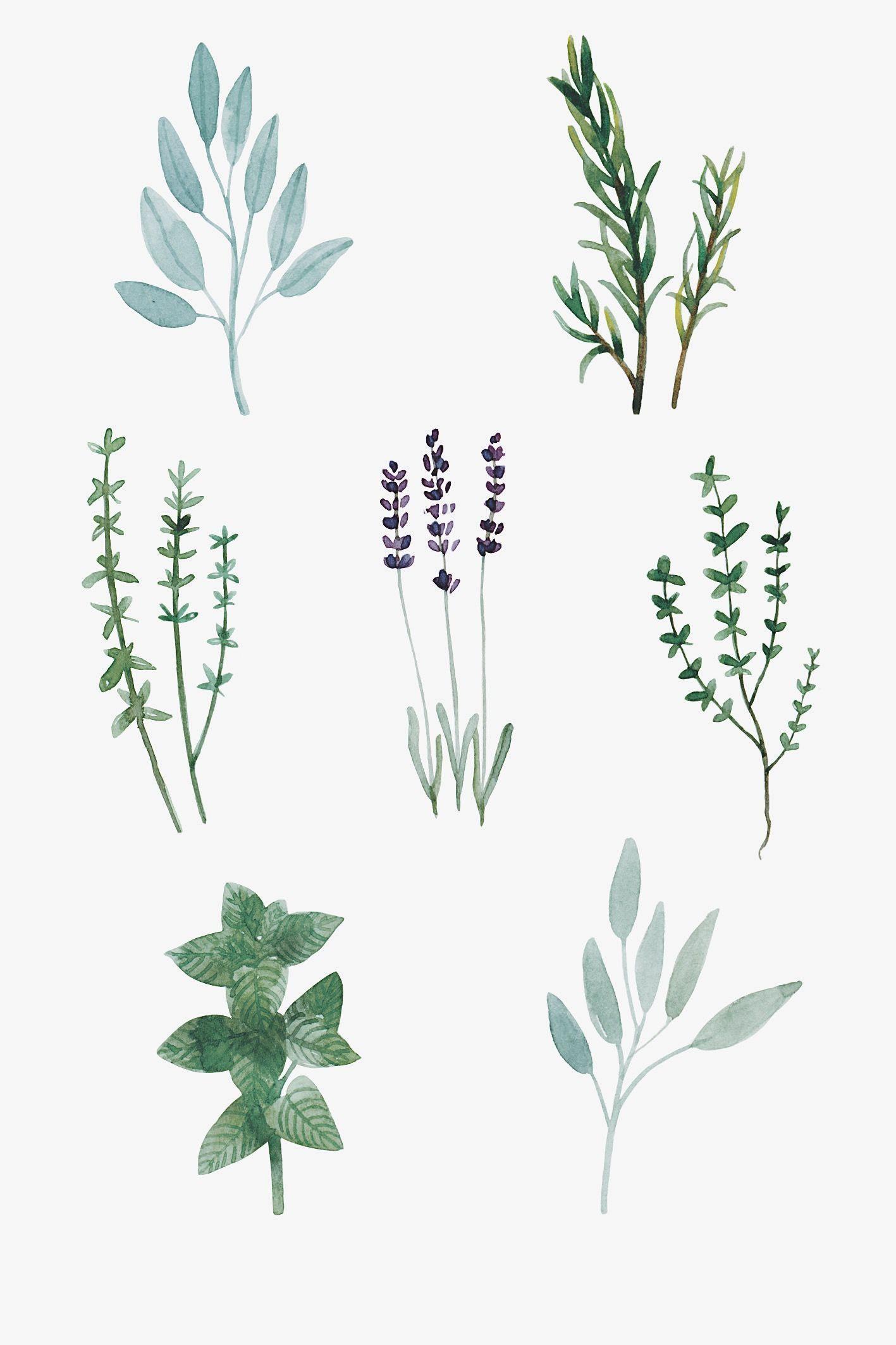 Botanica Herbs Pesquisa Google Krauter Illustration Illustration Botanik