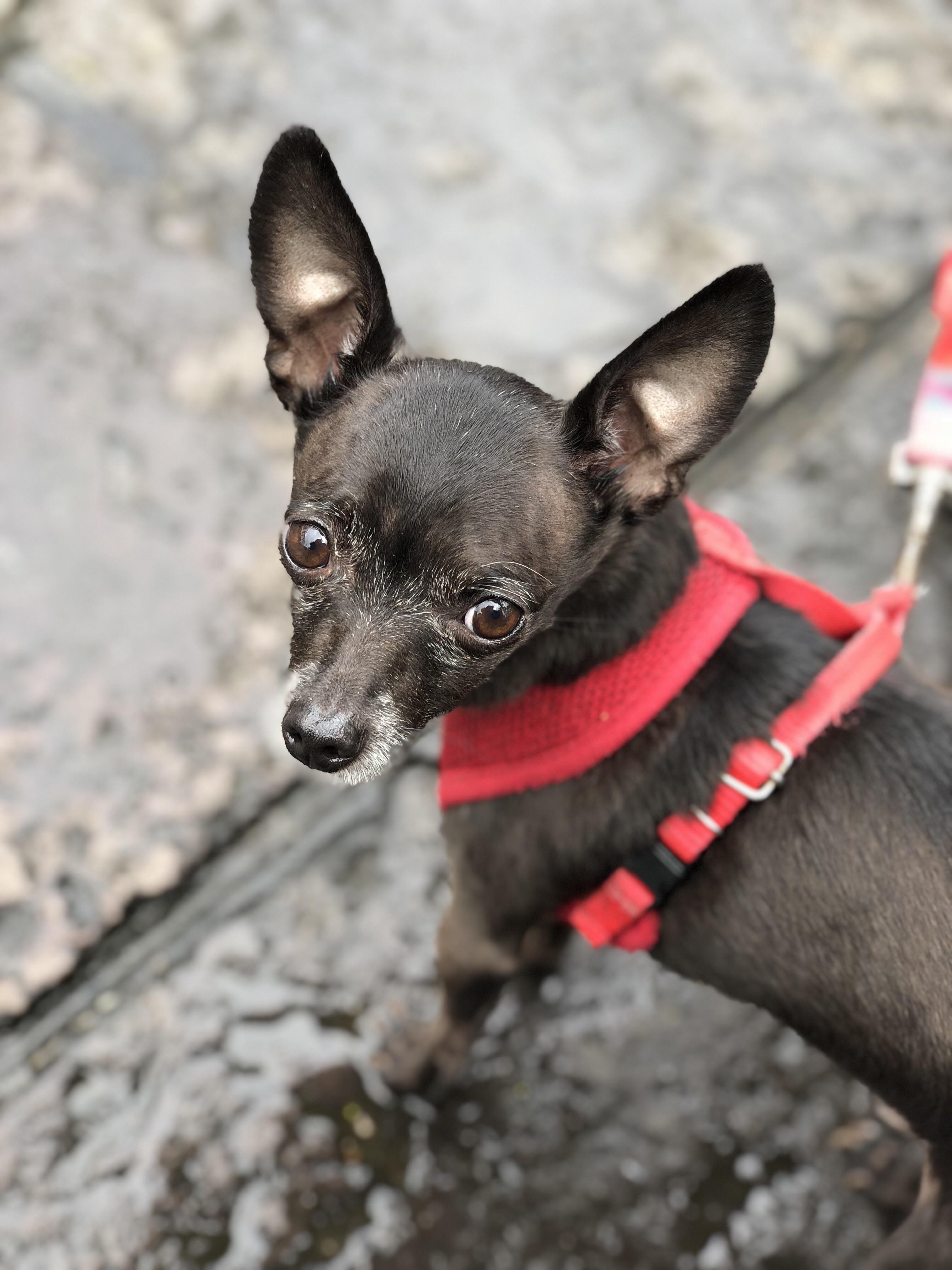 Tenoch In Mexico Chihuahua Dogs Chihuahua Puppies Chihuahua