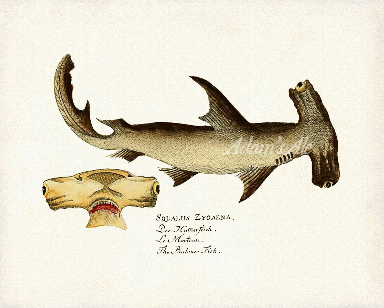 Uncategorized Shark Images To Print vintage scientific illustration art print a hammerhead shark from the atlas des poissons veneneux