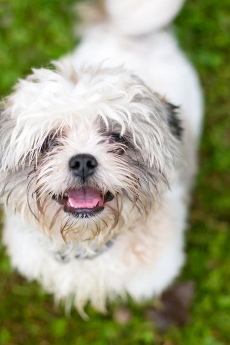 A Scruffy Shih Tzu Mixed Breed Dog Outdoors Shihtzu Shih Tzu Shih Tzu Mix Dog Breeds