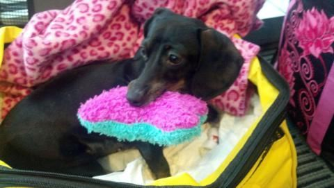 Joie Came To Me From Oregon Dachshund Rescue Here She Is Before
