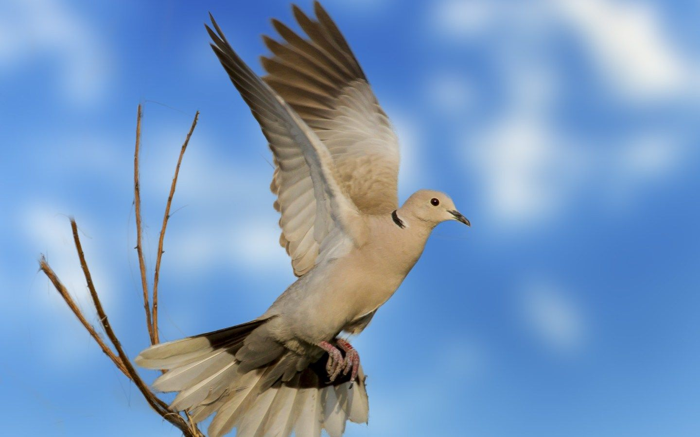 Dove Flying Indian Wild Birds Download Hd Desktop Mobile Wallpaper And Background Images Ultra Fine Digital Art Photography Background Images Amazing Paintings