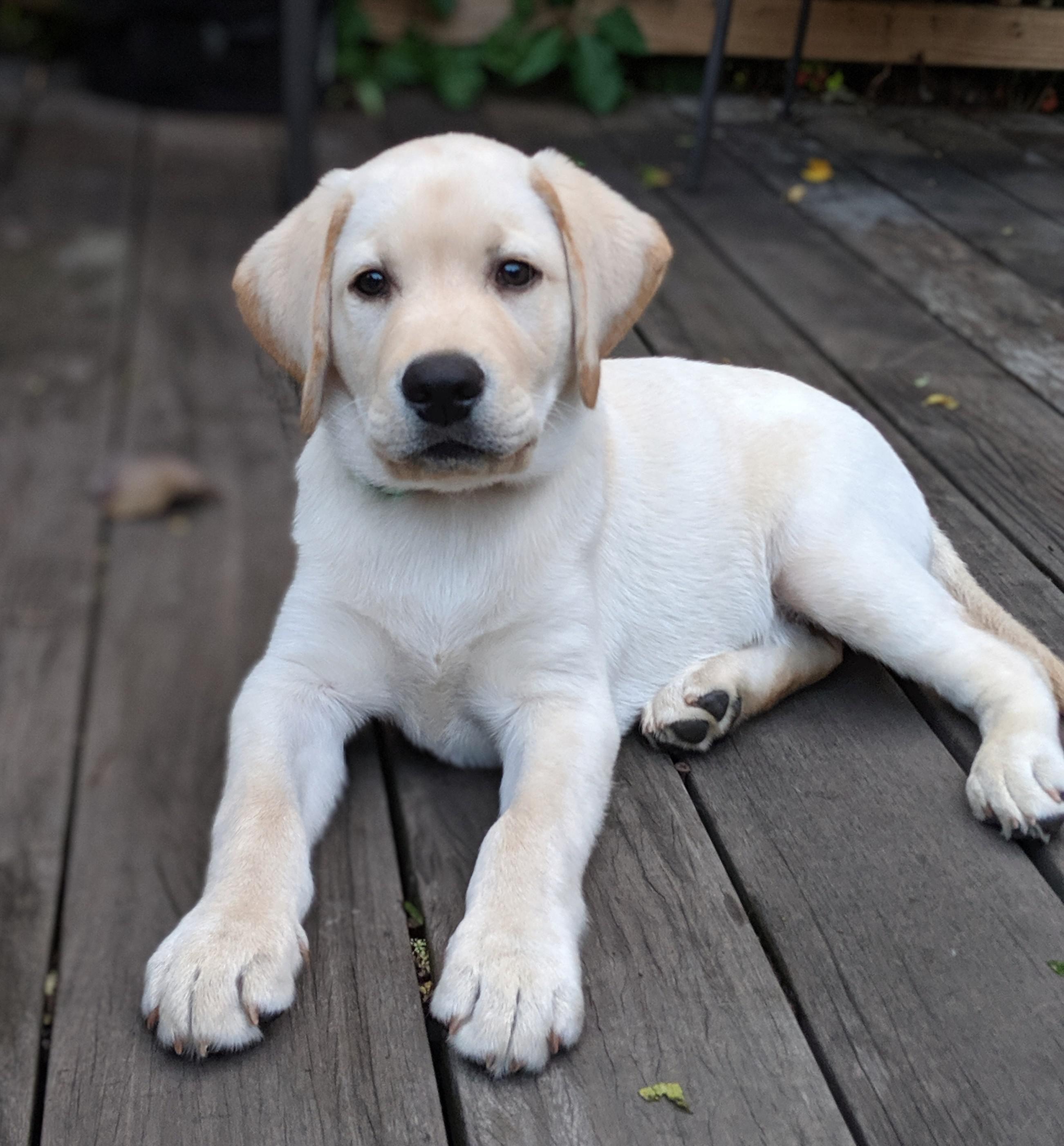 Pin On Adorable Labradors