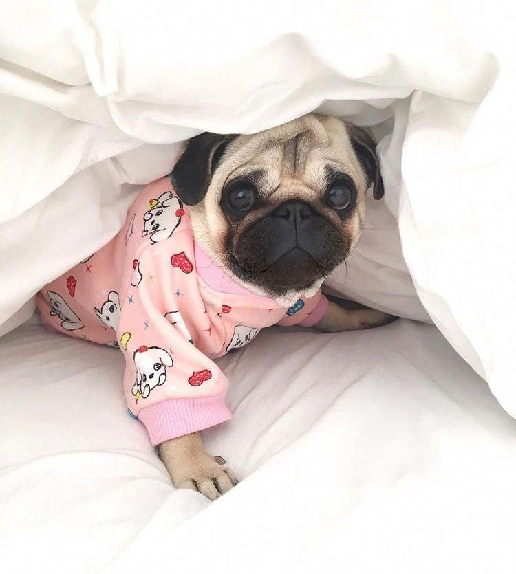 Awesome Funny Pugs Detail Is Offered On Our Website Check It Out