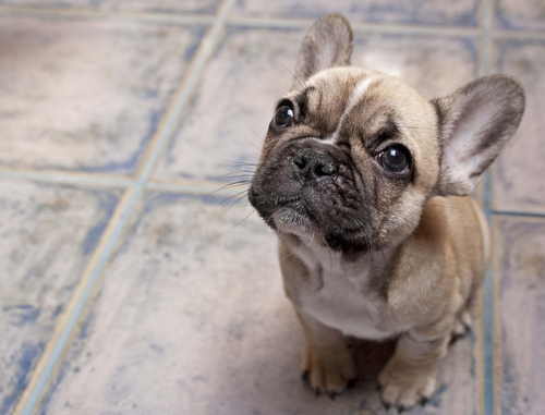 The Frenchie sad-face stare down. | Frenchies, je les aime ... Sad Bulldog Face