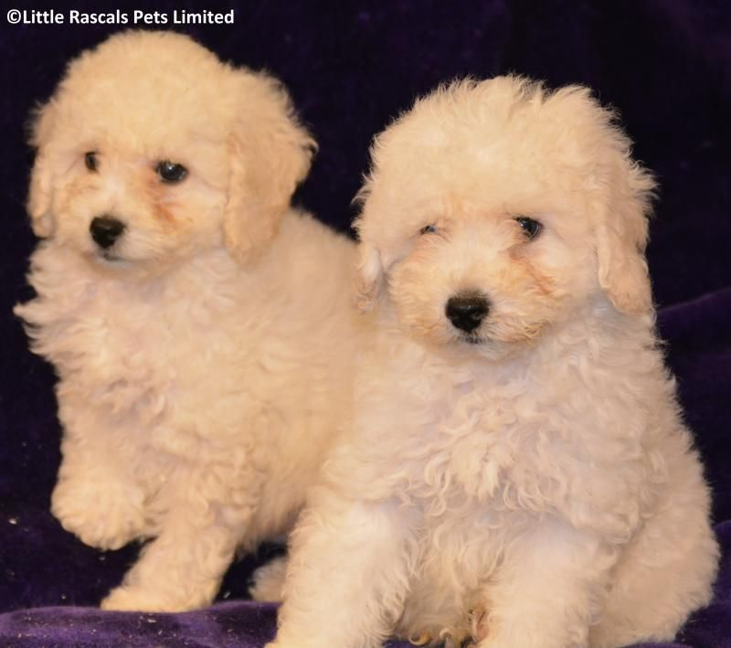 Fluffy Apricot Poochon Puppies Designer And Cross Breed Puppies