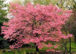 New Jersey State Memorial Tree Flowering Dogwood Dogwood Trees Memory Tree Garden Trees