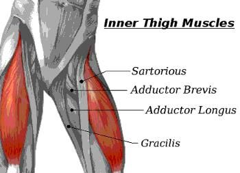 Inner thigh anatomy