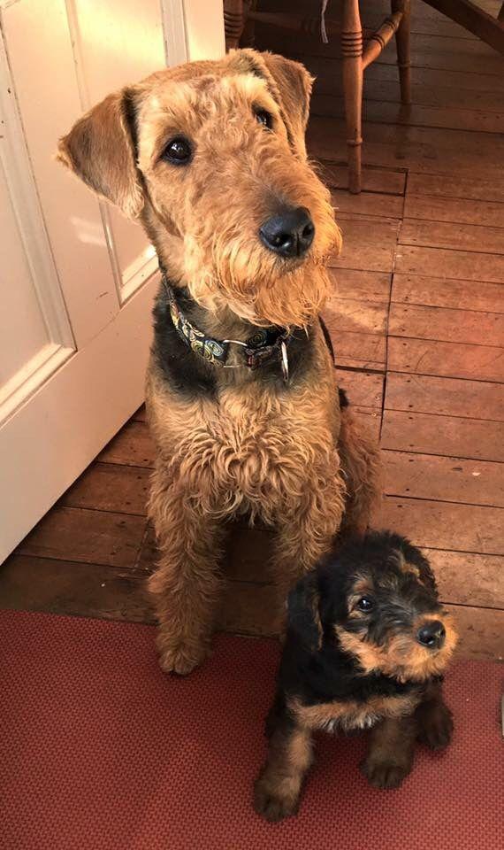 Bracken Teazel From New Zealand January 2016 Airedale Terrier Puppies Airedale Terrier Airedale Dogs