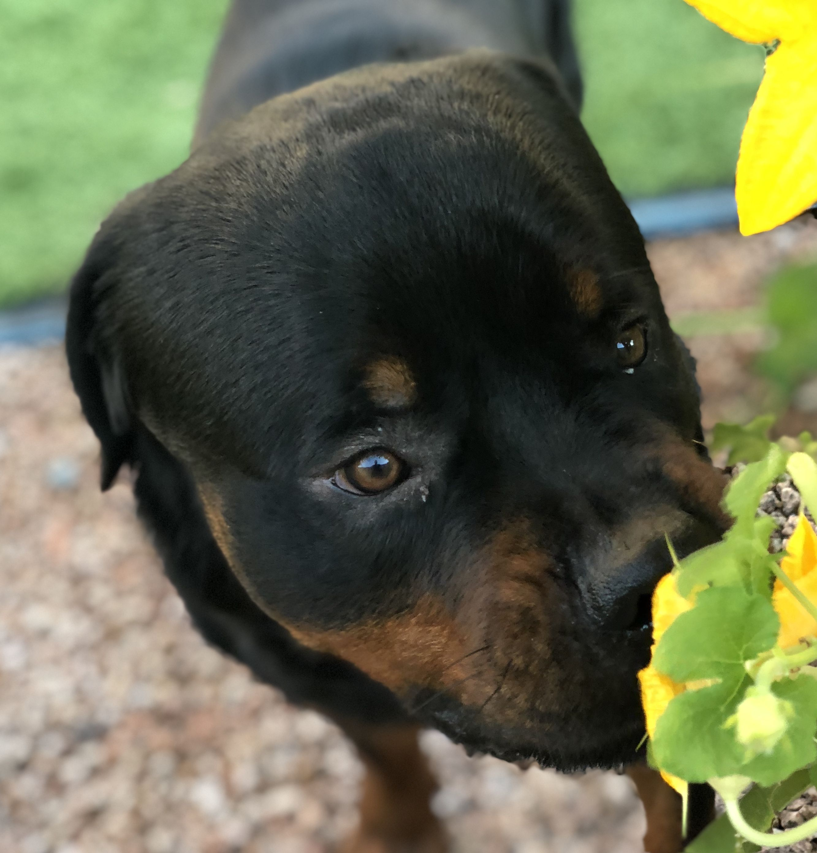 Pin By Lisa Hughes Redwine On Rottweiler Puppy Rottweiler Puppies Rottweiler Rottie