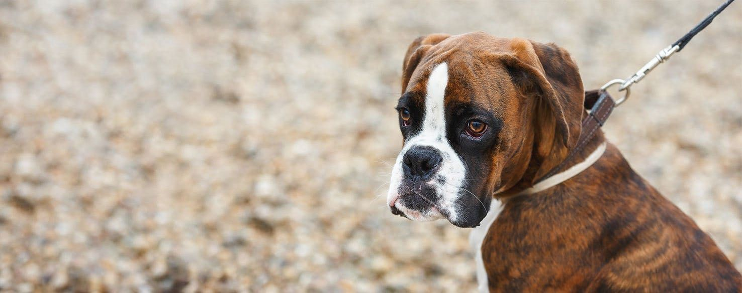 How To Train A Boxer Puppy To Walk On A Leash Aggressive Dog