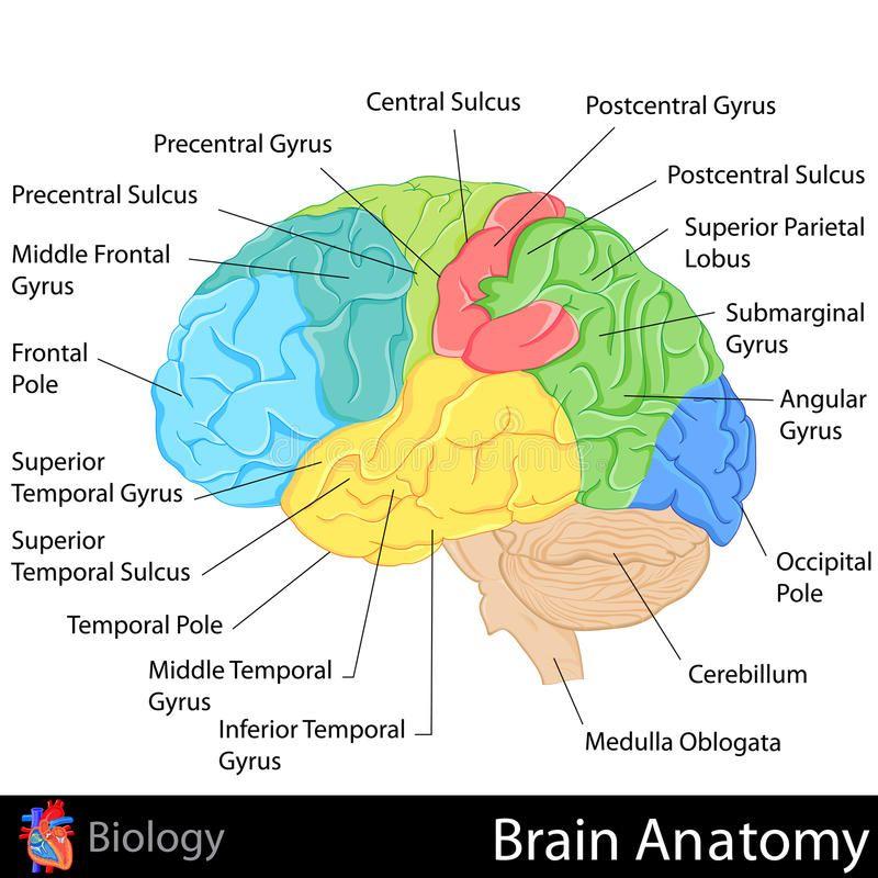 Brain Anatomy Easy To Edit Illustration Of Brain Anatomy Diagram Aff Easy Anatomy Brain Diagram I In 2020 Brain Anatomy Brain Diagram Human Brain Diagram