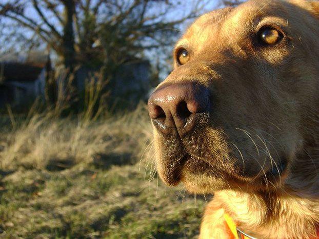 Boomer A Yellow Labrador Retriever From Dothan Alabama