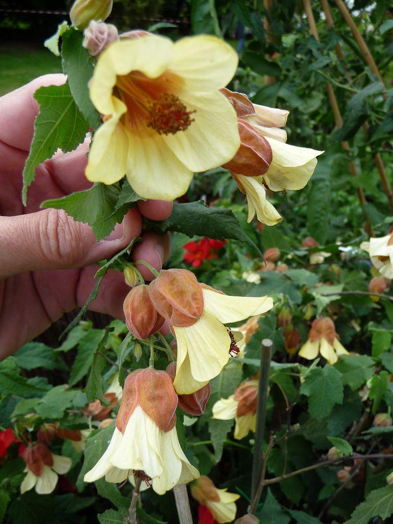 abutilon megapotamicum 39 ines 39 p pini re fleurs du sud journ es des plantes de courson. Black Bedroom Furniture Sets. Home Design Ideas