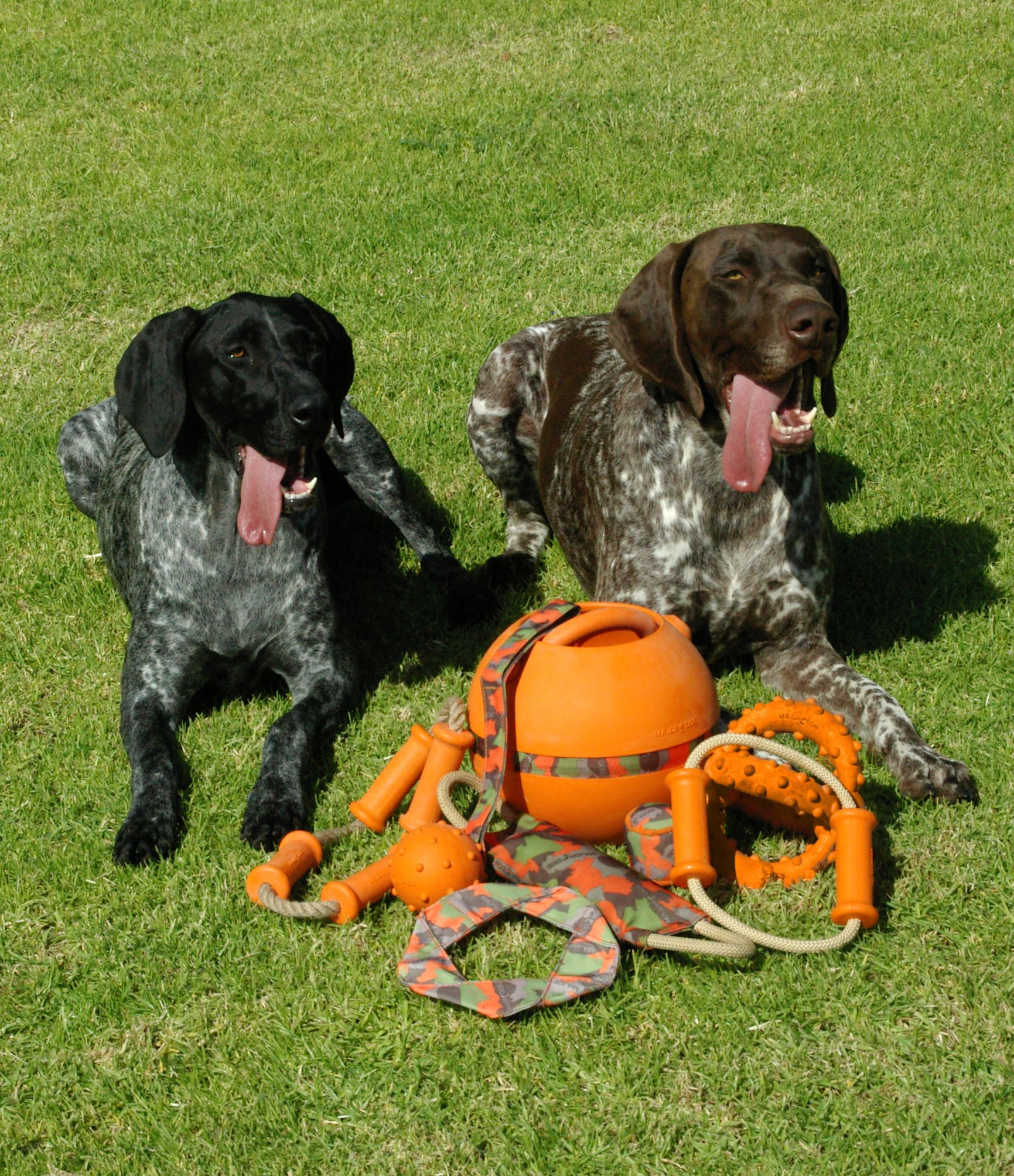 majordog GSP dogs dogtoys Aussie Dogs love Major Dog