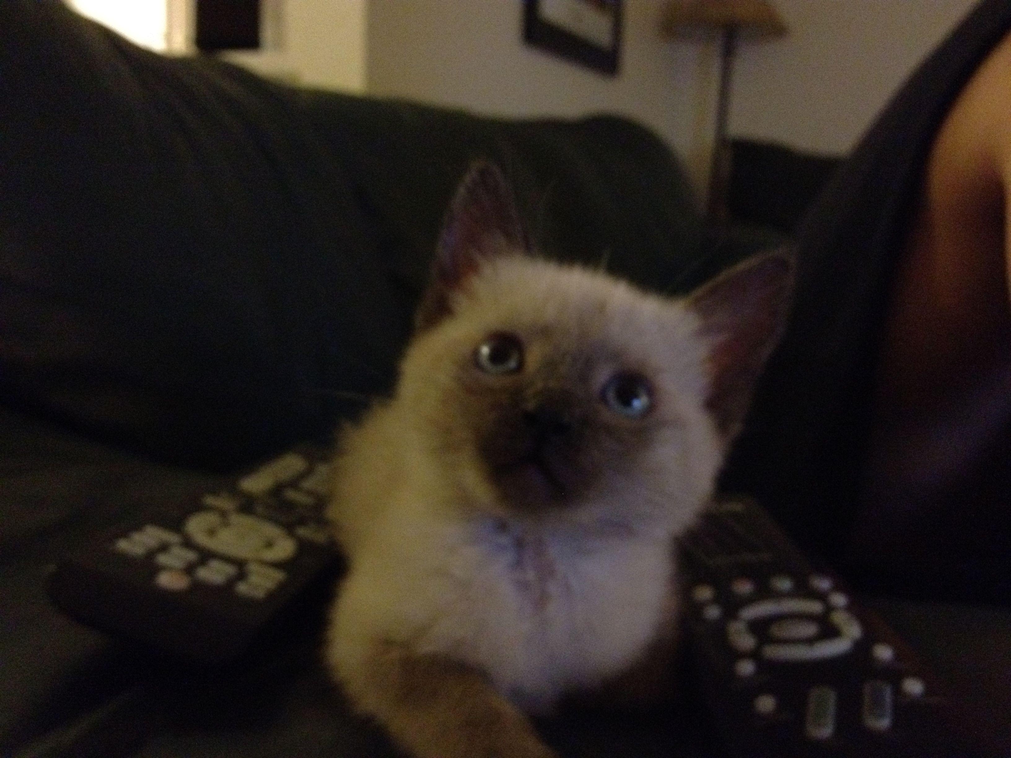 Siamese kitten | Love!!! | Pinterest | Siamese kittens, Siamese ...