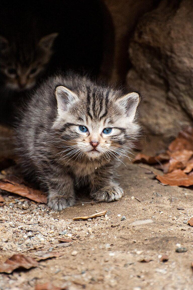 The 9 Cutest Kittens Around The World Will Make You Scream I Can T I Just Can T In 2020 Kittens Cutest Cute Baby Cats Baby Cats