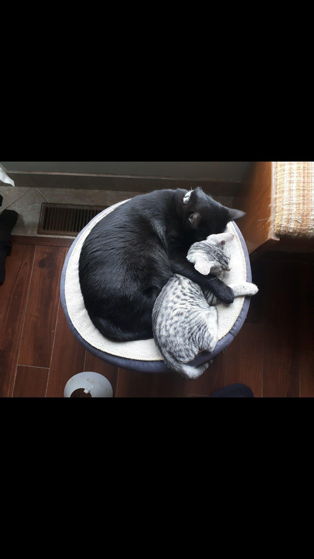 Savannah And Egyptian Mau Kitten Kitten Egyptian Mau Kitty