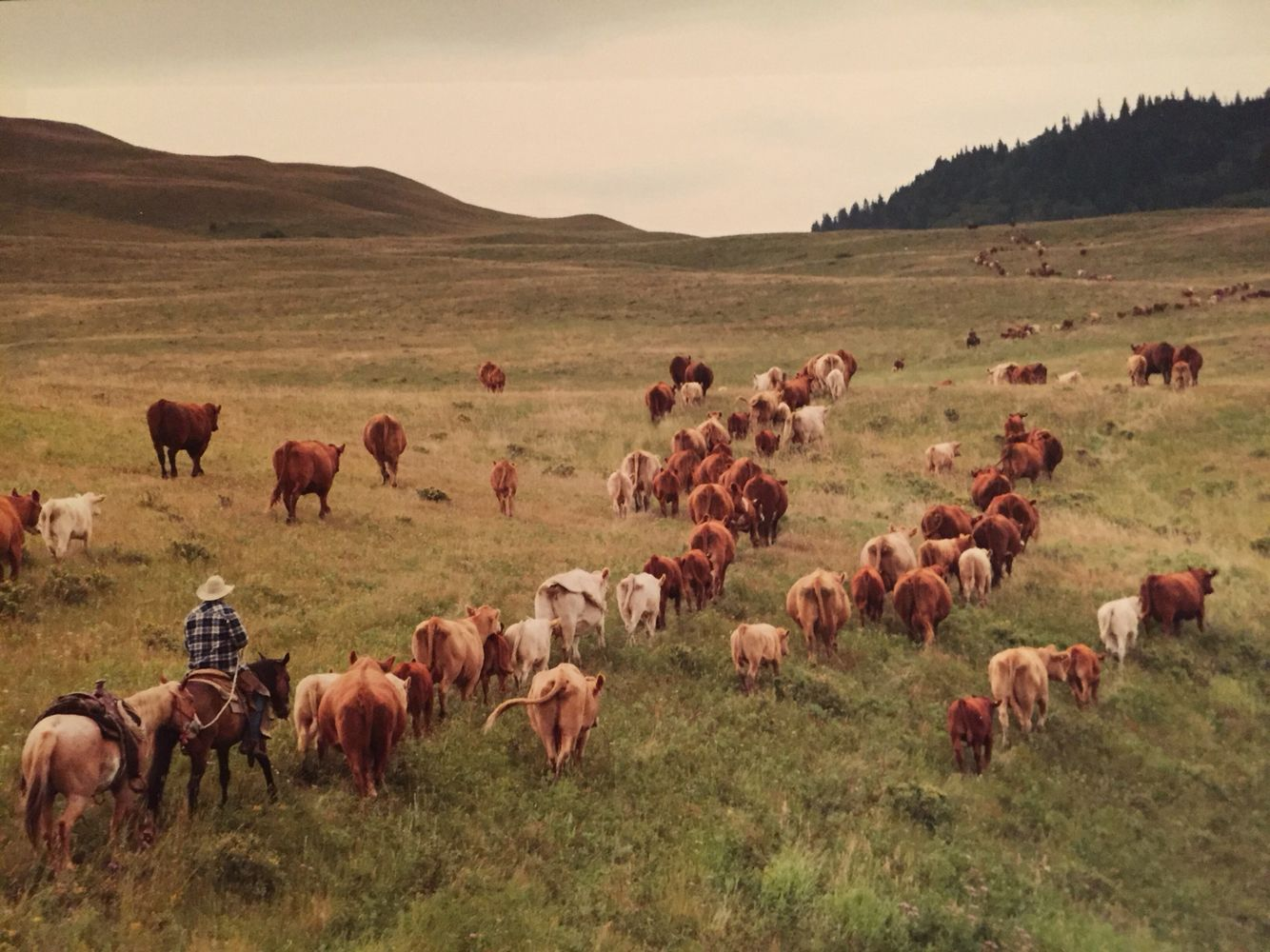 """""""George Ehret trailing Kusler pairs to summer grazing, Cypress Hills, SK"""". By Kim Taylor."""