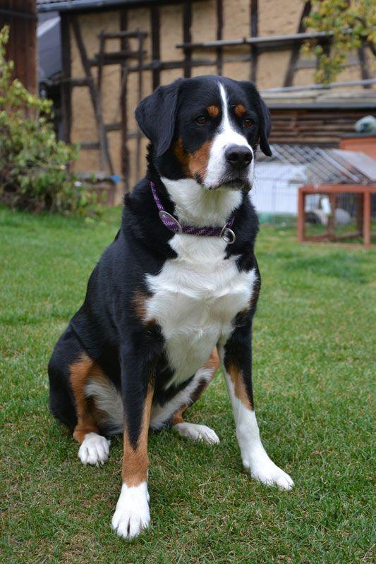 Grosser Schweizer Sennenhund Hunde In 2020 Mountain Dogs