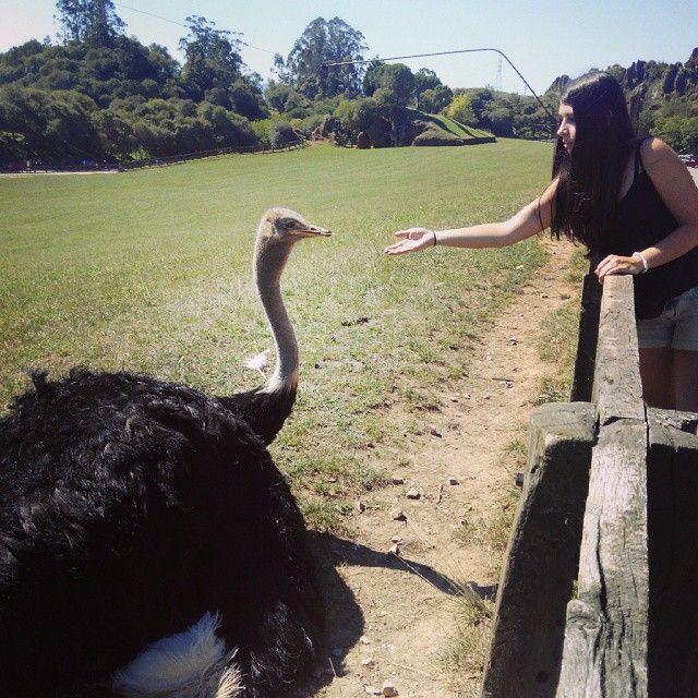 #cabarceno #avestruz