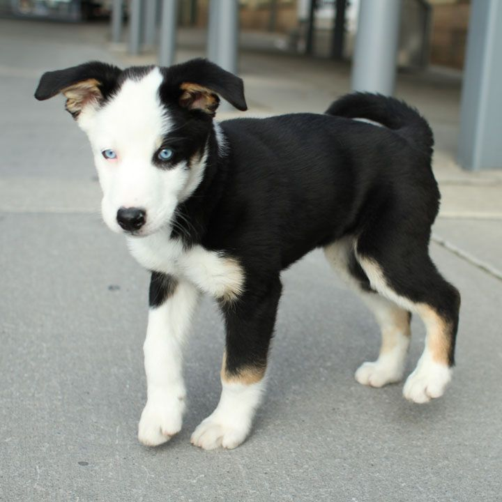 Husky Puppy Mix Puppy Mix
