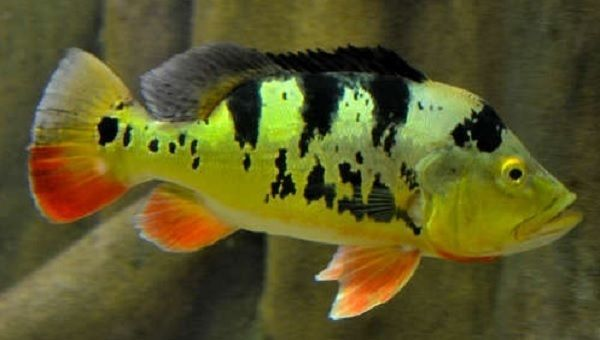 Peacock Bass Monoculus Cichlid Live Freshwater Aquarium Fish Pet Supplies Fish Aquariums Live Fish Ebay Freshwater Aquarium Fish Fish Aquarium Fish