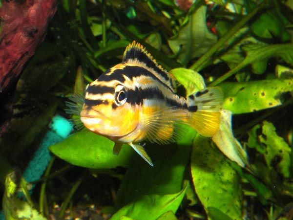 Young Auratus Or Female Auratus A Yellow Cichlid With